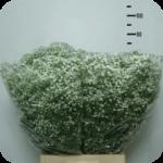 paniculata-flores-por-mayor-torrecillas